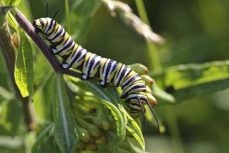 Close-up of Monarch Butterfly caterpillar (Danaus plexippus) feeding on milkweed. photo