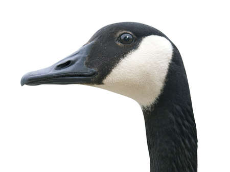 Canada Goose head isolated on white photo