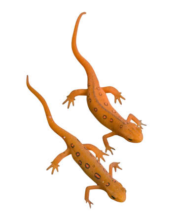 newts: Eastern Newts isolated on white background