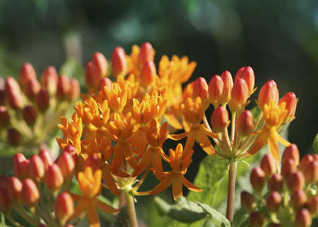 milkweed butterfly: Close-up of colorful Butterfly Milkweed (Asclepias tuberosa)