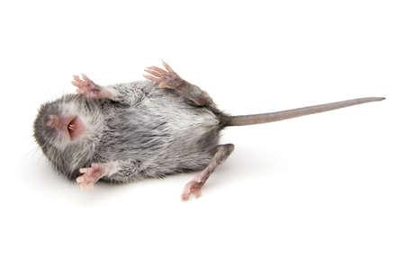 De muis van de wilde baby op haar rug met de benen geïsoleerd op wit.  Stockfoto