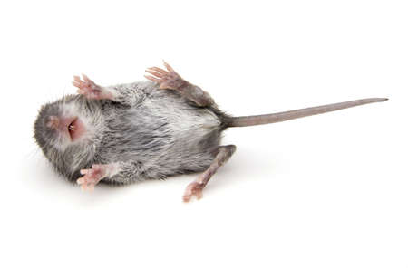 Wild baby mouse on its back with legs up isolated on white. Standard-Bild