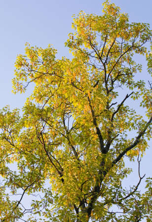 quercus: Flowering Black Oak (Quercus velutina) in early spring. Stock Photo