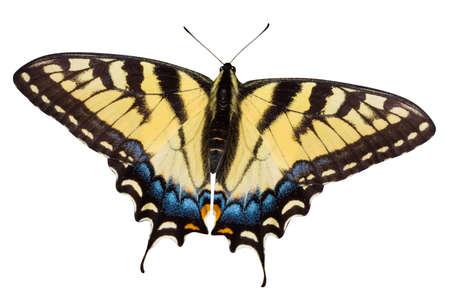 butterflies flying: Tiger podalirius farfalla  Archivio Fotografico
