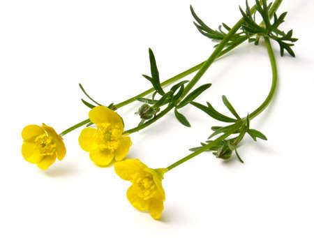 Buttercup bloemen (Ranunculus) geïsoleerd op een witte achtergrond.  Stockfoto