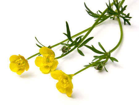 Buttercup flowers (Ranunculus) isolated on white background.