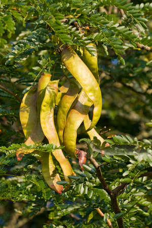 langosta: �rbol de langosta (Gleditsia triacanthos) con fruta de la miel.  Foto de archivo