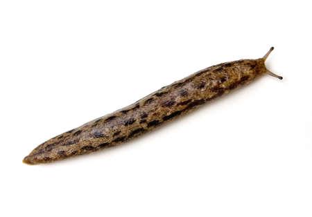 Spotted Garden Slug (Limax maximus) isolated on white background. Reklamní fotografie