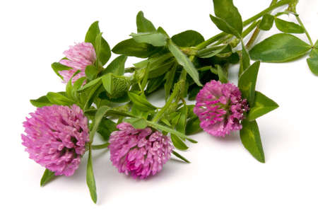 red clover: Red Clover (Trifolium pratense) isolated on white background.
