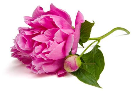 Flor de peonía aislado en un fondo blanco.  Foto de archivo