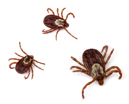 Three American Dog Ticks (Dermacentor variabilis) isolated on white background.