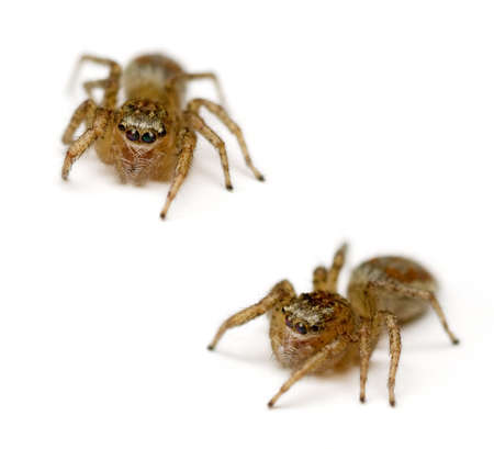 salticidae: Two Jumping Spiders (Salticidae) isolated on white background.