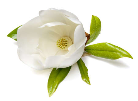 the magnolia: Southern Magnolia (Magnolia grandiflora) flower isolated on white background. Stock Photo