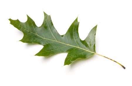 quercus: Black oak leaf (Quercus velutina) isolated on white background.