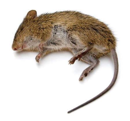 Dead rat isolated on a white background. photo