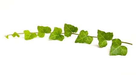 vine leaves: English Ivy vine and leaves isolated on white background. Stock Photo