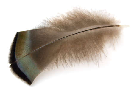 piuma bianca: Wild Turkey piuma isolato su sfondo bianco.