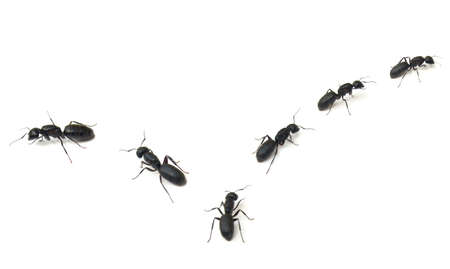 marching: Trail of large black Carpenter Ants (Camponotus pennsylvanicus) isolated on white background Stock Photo