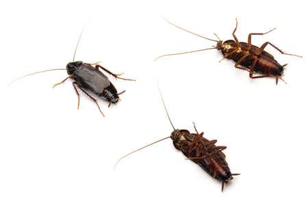 Three Oriental Cockroaches (Blatta orientalis) isolated on white background. Stock Photo