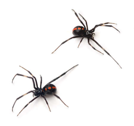 spider: Two juvenile female Southern Black Widows (Latrodectus mactans). Stock Photo