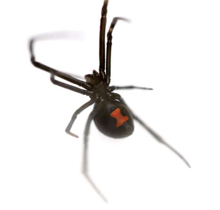 poisonous insect: Female Southern Black Widow (Latrodectus mactans) isolated on white background.