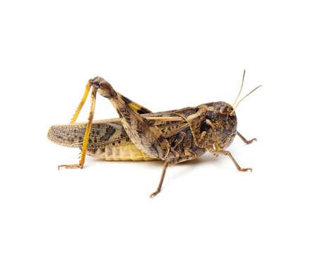 Wrinkled Grasshopper (Hippiscus ocelote) isolated on white background. Stock Photo - 7452995