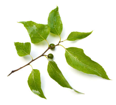 laevigata: Southern Hackberry (Celtis laevigata) leaves and fruit. Stock Photo