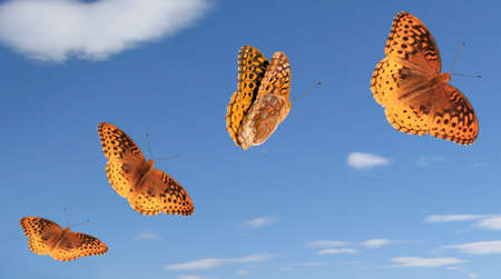 4 separate photos and paths for Great Spangled Fritillary butterflies.