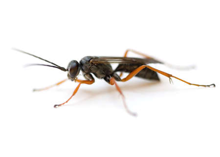 Spider Wasp (Auplopus mellipes) isolated on white background. photo