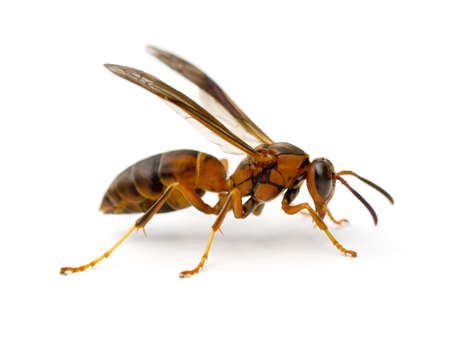 avispa: Paper Wasp (Polistes metricus) aislado sobre fondo blanco.  Foto de archivo