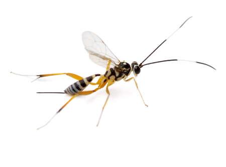 Female Ichneumon Wasp (Messatoporus discoidalis) photo