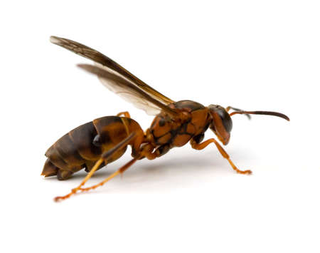 attached: Paper Wasp (Polistes metricus) with Strepsiptera parasites attached to abdomen. Stock Photo