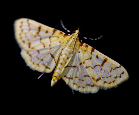 Ironweed Root Moth (Polygrammodes flavidalis) on black background.
