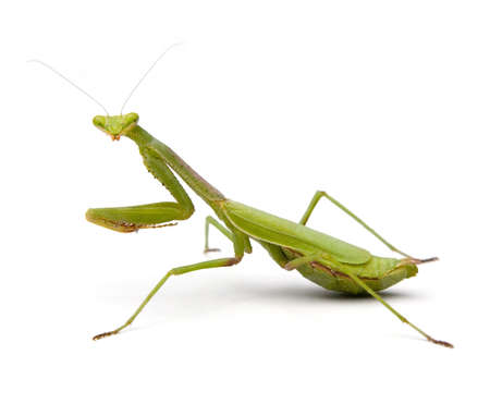 Praying Mantis isolated on a white background. photo