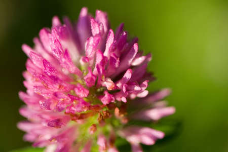 red clover: Close-up of Red Clover (Trifolium pratense) in natural setting. Stock Photo