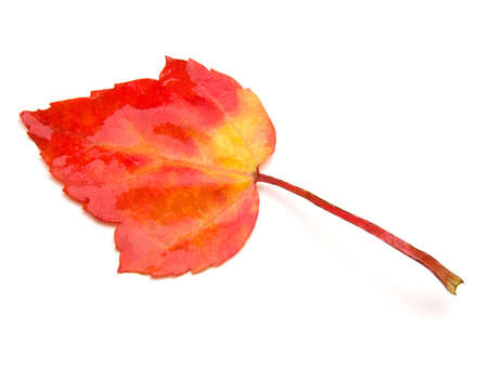 red maple leaf: Red Maple Leaf (Acer rubrum) isolated on white.