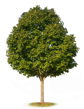 arboles frondosos: Sugar Maple Tree (Acer saccharum) aisladas sobre fondo blanco.
