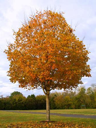 arboles frondosos: �rbol de Sugar Maple (Acer saccharum) con follaje oto�al  Foto de archivo