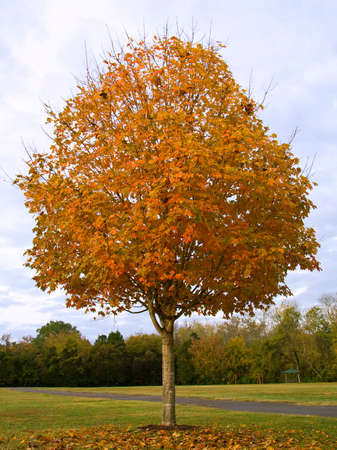 saccharum: Sugar Maple Tree (Acer saccharum) with autumn foliage