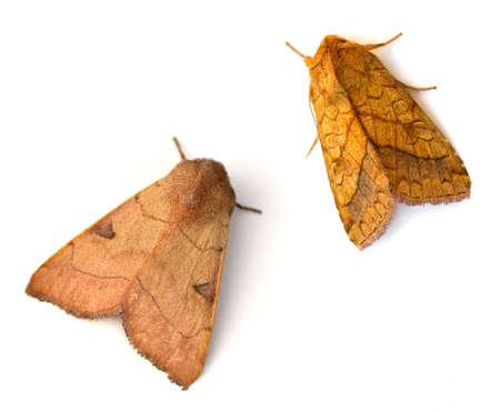sallow: Bent-line Dart (Choephora fungorum) and Bordered Sallow Moth (Pyrrhia cilisca) Stock Photo