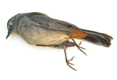 catbird: Dead Gray Catbird (Dumetella carolinensis) isolated on white background. Stock Photo