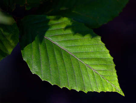Close-up of leaf from American Beech Tree (Fagus grandifolia)