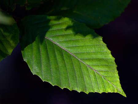fagus grandifolia: Close-up of leaf from American Beech Tree (Fagus grandifolia)