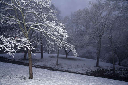 Dogwood trees with snow and a foggy winter morning