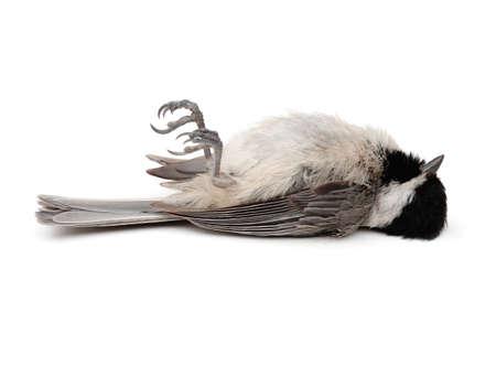 vulnerability: Dead Carolina Chickadee (Poecile carolinensis) on white background Stock Photo