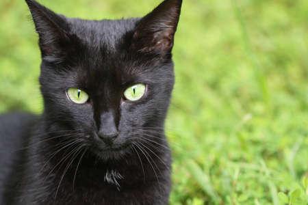 緑の草の背景と黒い国内猫の肖像画