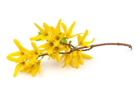 Forsythia (Oleaceae) flowers on a white background.