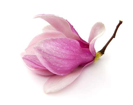 Saucer Magnolia (Magnolia x soulangeana) on a white background. Stock Photo