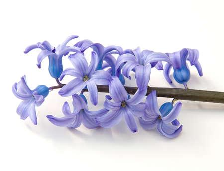 hyacinthus: Hyacinth (Hyacinthus) on a white background