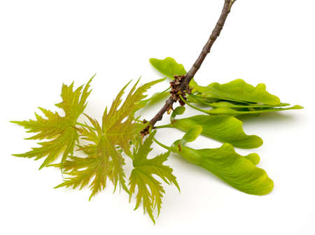 acer: Silver Maple (Acer saccharinum) new leaves and seeds on white background Stock Photo